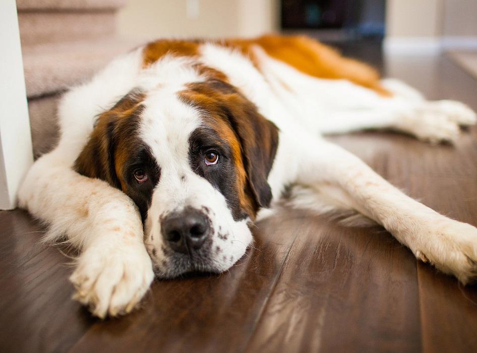 perro triste tumbado en el suelo con pocas ganas de moverse