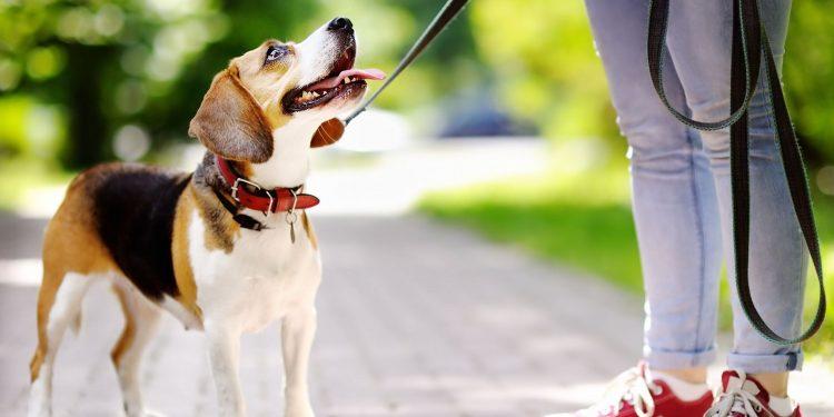 Foto de un perro con la correa en pleno paseo que se queda mirando a su dueña