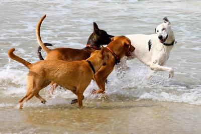 perros juganto en la playa