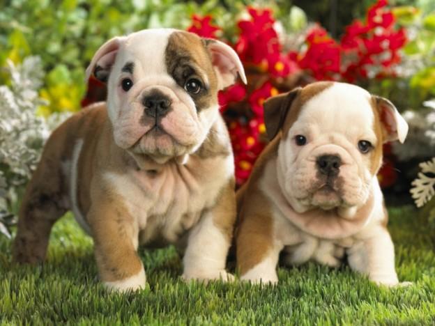 Razas de Perros para vivir en Pisos