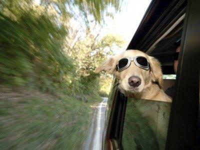 como llevar a un perro en coche