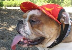 Golpe de Calor en Perros. Síntomas y Tratamiento