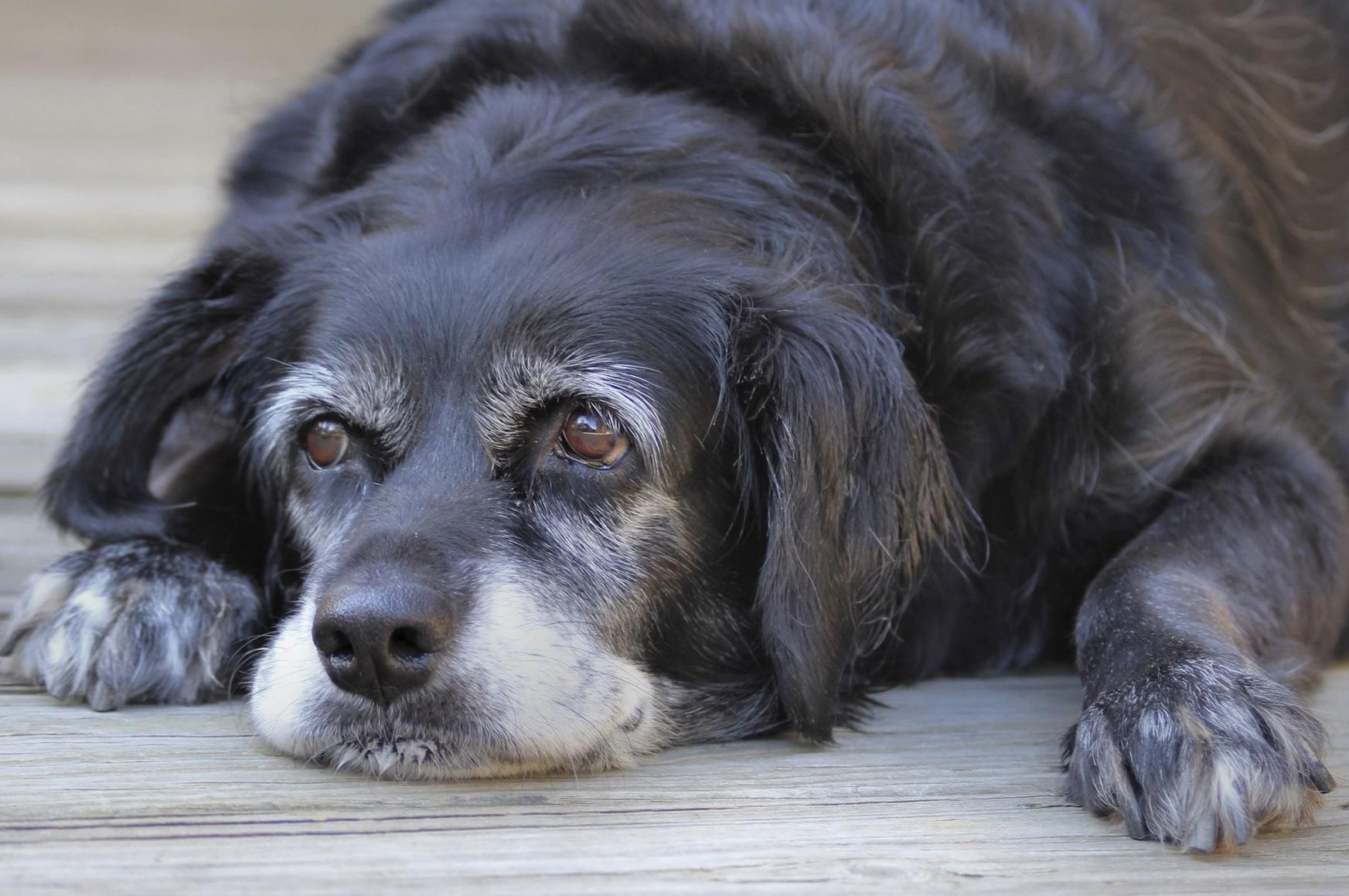 Foto de un perro muy viejo sentado sobre el suelo