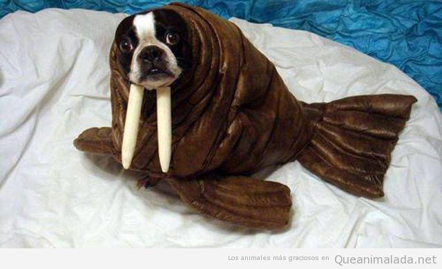 Disfraz para perros de morsa