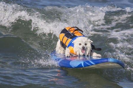 Si tu perro surfea como el de la foto, quizá el oleaje sea lo que menos te preocupa cuando vayas a la playa con tu mascota