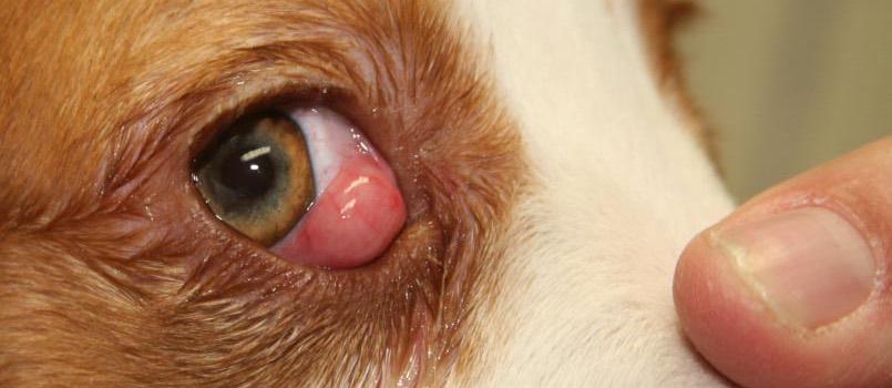 Qué es el Ojo de Cereza en los perros