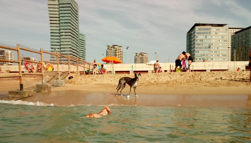 Playa pic rdia playa para perros en arenys de mar for Piscina para perros barcelona