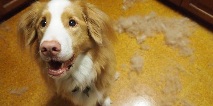 Foto de un perro que pierde pelo