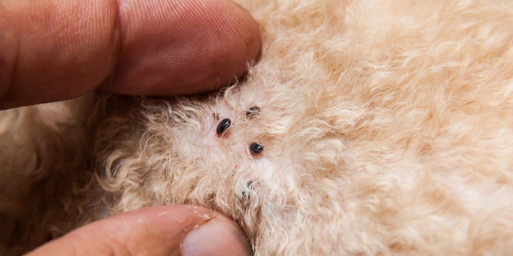 Foto de cerca mostrando tres pulgas en la piel de un perro
