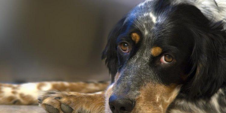 Foto de un perro en el suelo porque le suena la barriga
