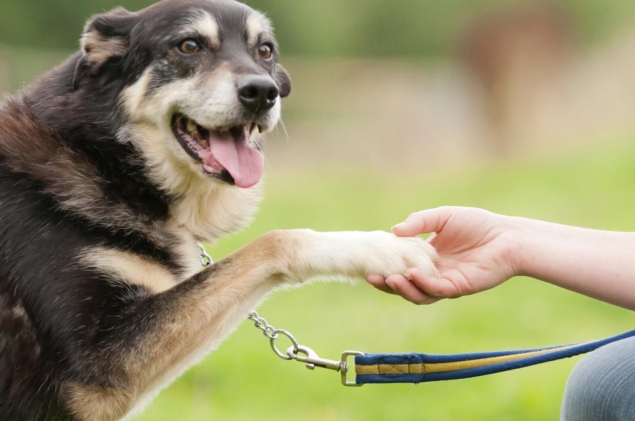 Foto de un perro adulto dando la pata a su dueño