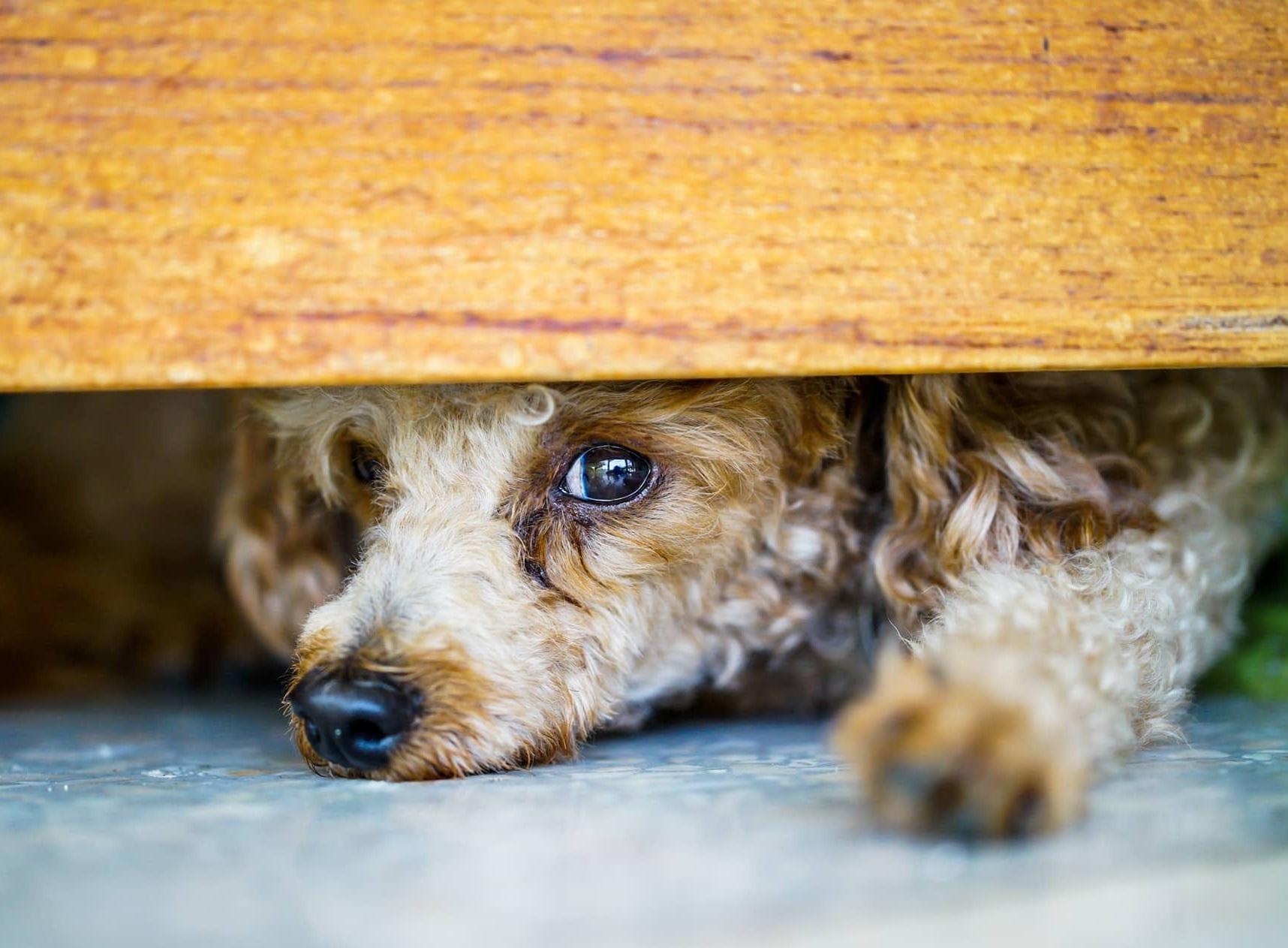 Foto de un perro escondido tras un puerta asustado de otros perros