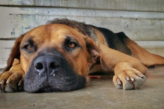 Perro con moquillo tumbado en el suelo
