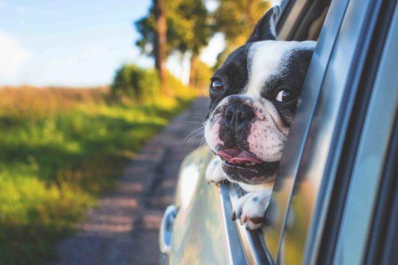 Perro en un coche sacando la cabeza por la ventana