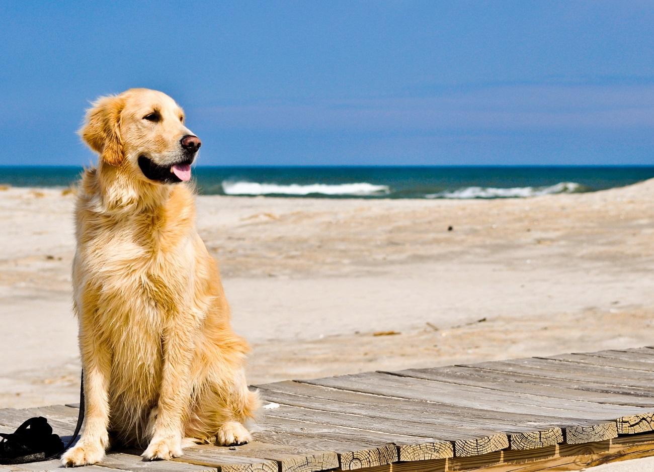 Foto de un perro en la playa disfrutando de sol y del mar sobre una pasarela de madera