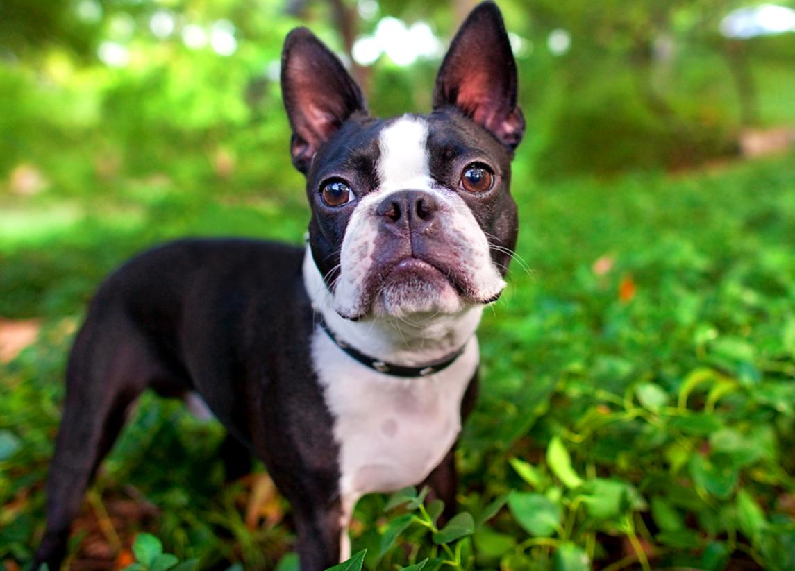 Razas de perros pequeños y tranquilos - RedCanina.es