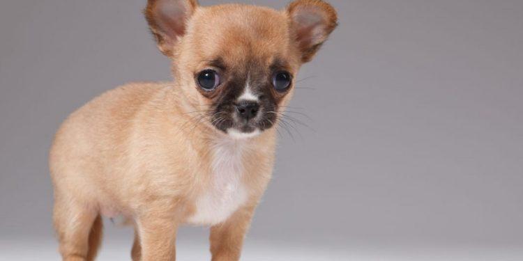 Foto de un perro pequeño de menos de 4 kilos