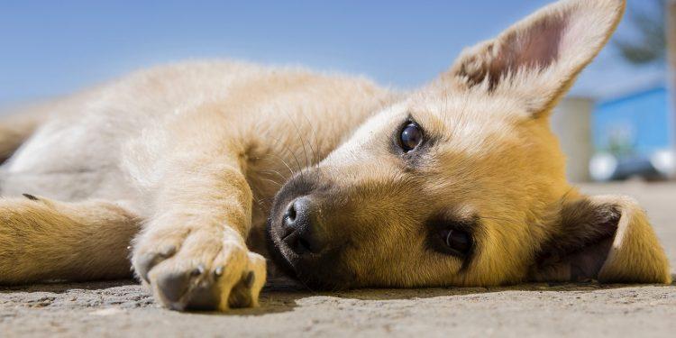 Perro enfermo por parvovirus