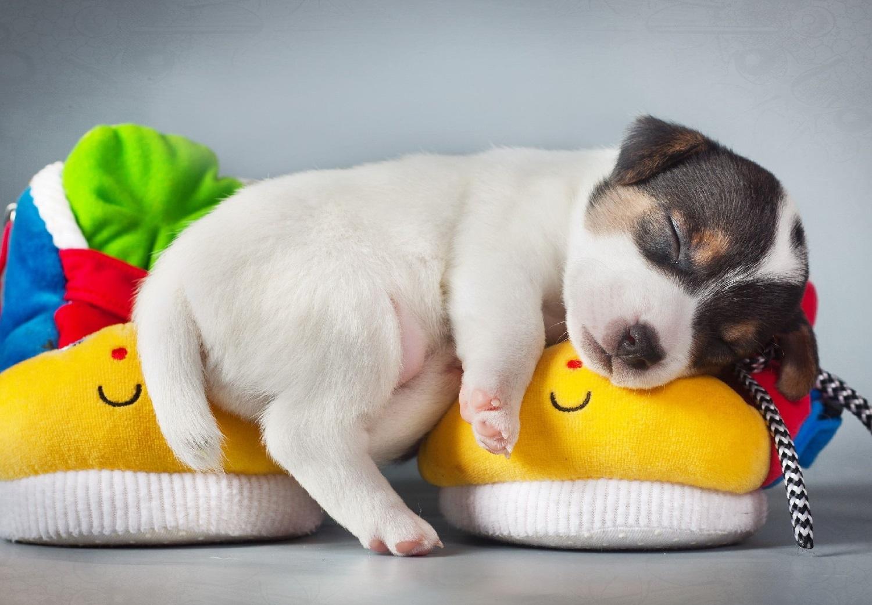 Cachorro durmiendo encima de unas zapatillas de andar por casa