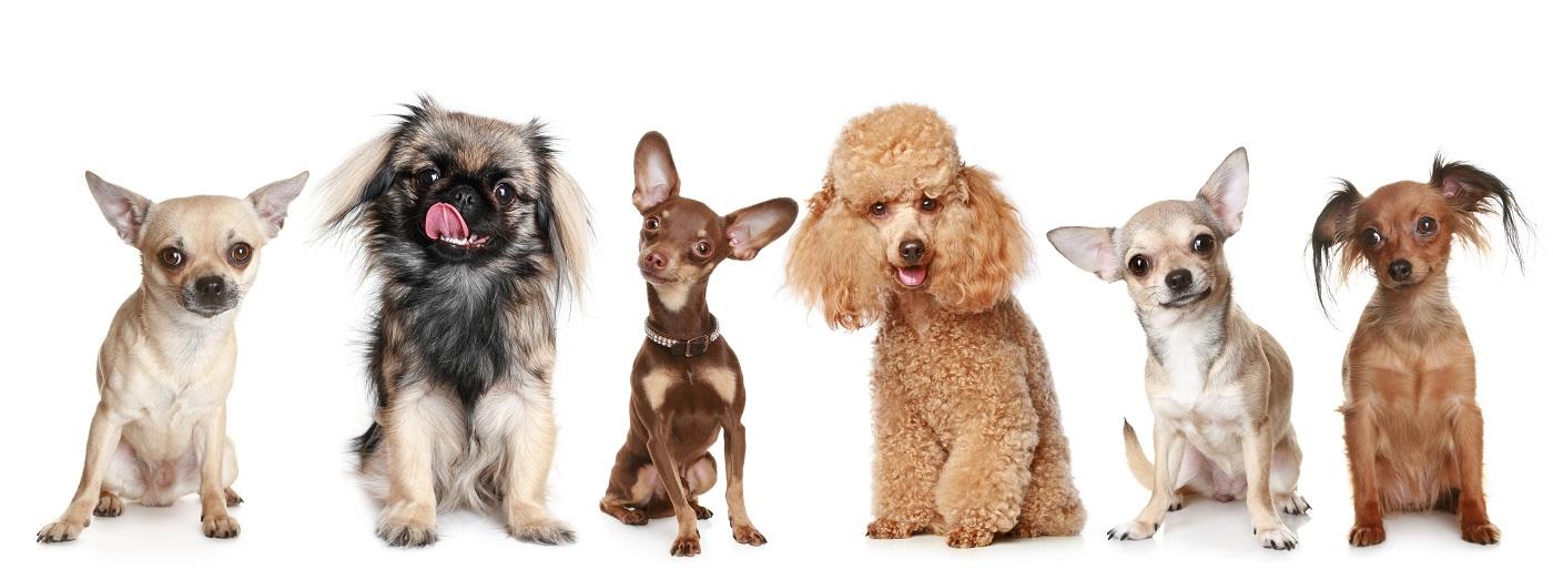 6 perros de razas pequeñas