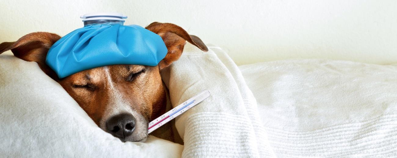 Perro enfermo con un termometro en la boca