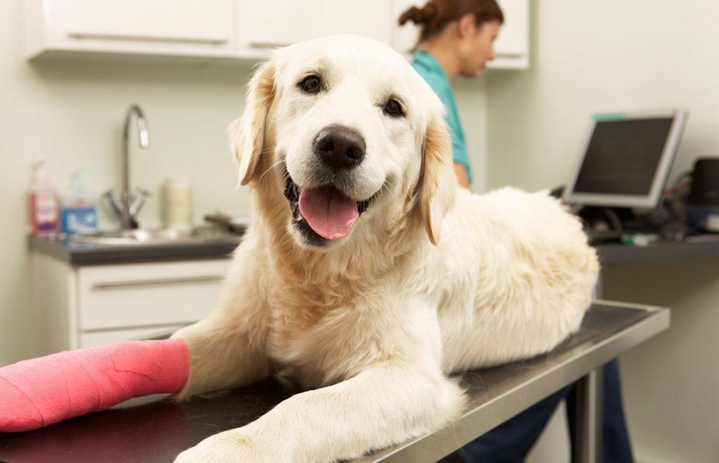 Perro con la pata herida en la consulta de un veterinario