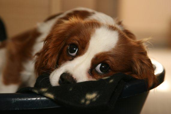 Perro en su canasto con cara de pena porque se encuentra solo