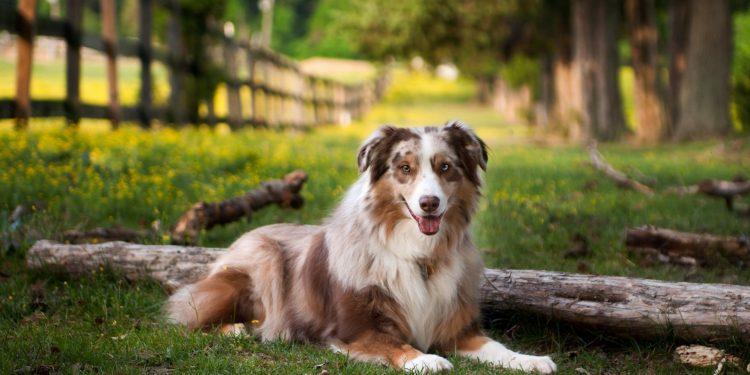 Foto de un perro de raza sentado en la hierba en un prado