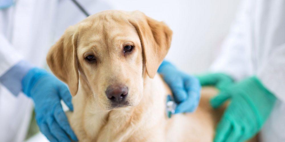 Perro en la camilla de la consulta de un veterinario atendido por un posible envenenamiento