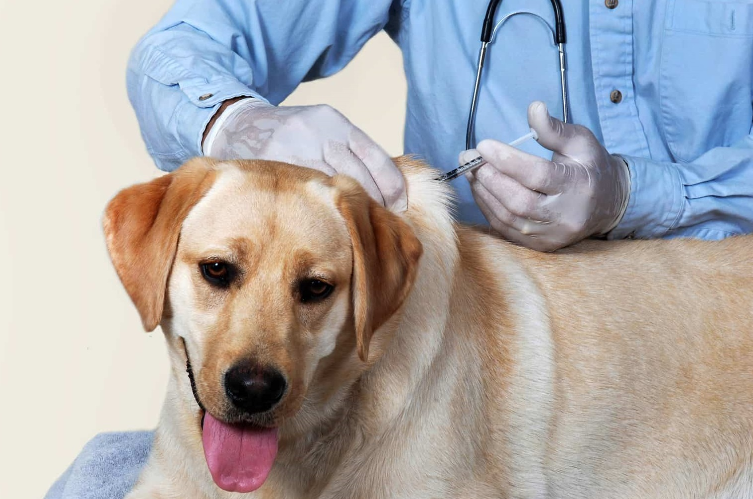Perro en la consulta del veterinario donde le aplican la vacuna contra la rabia.