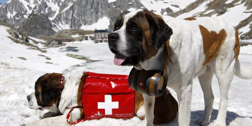 Foto de dos San Bernardos equipados para rescate en la nieve en alta montaña
