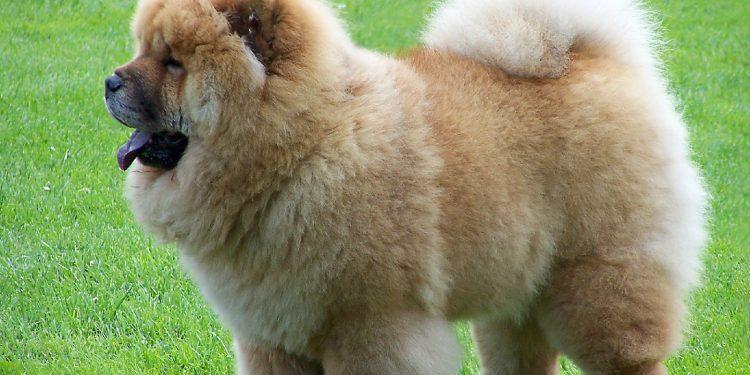 Foto de un Chow Chow donde se aprecio lo bonito que queda su pelo si se le aplican los cuidados que requiere