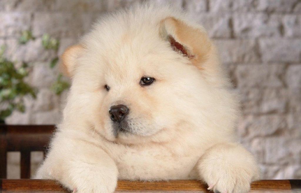 Foto de un cachorro de Chow Chow de color blanco