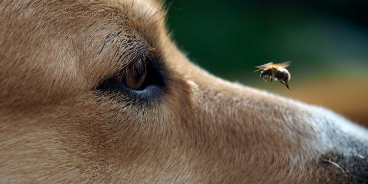 Foto de una abeja cerca de la nariz y los ojos de un perro