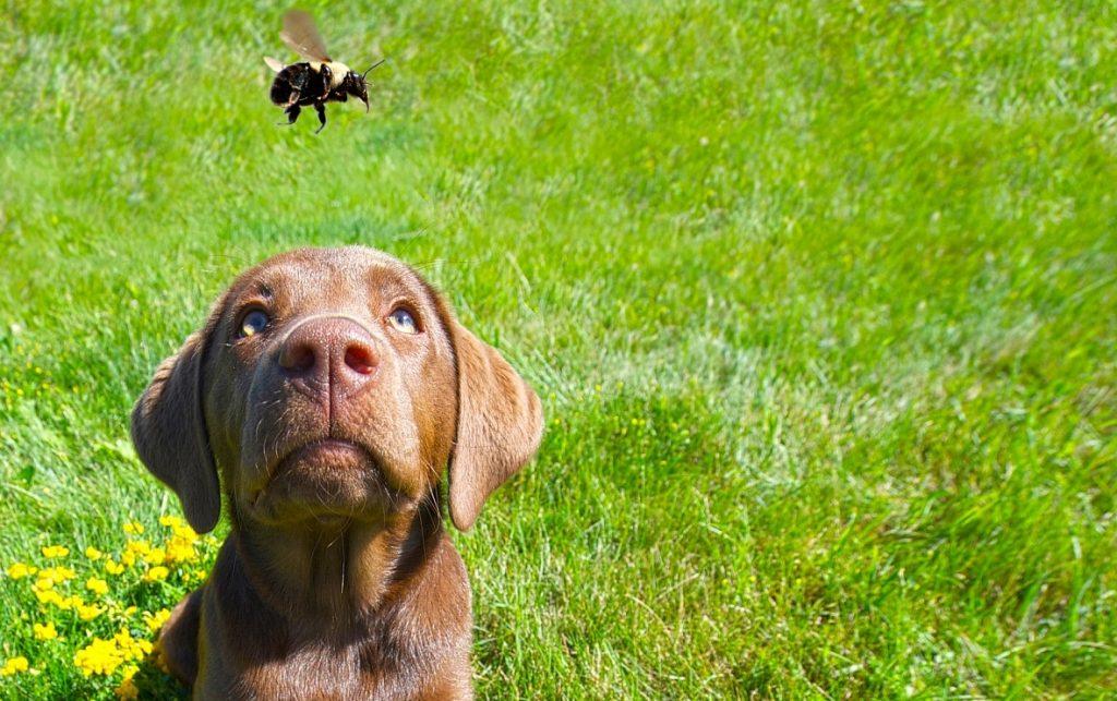 Perro mirando a una abeja y con ganas de jugar a morderla