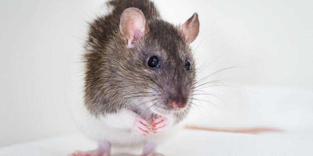 Fotos de un pequeño ratón