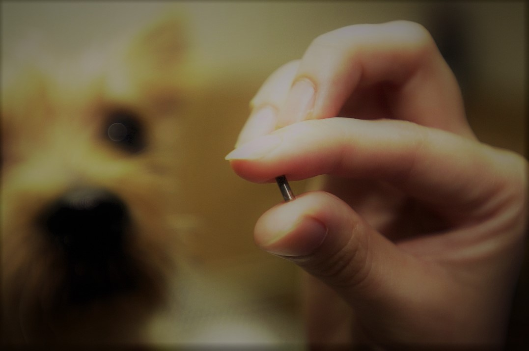 Foto con el microchip que se coloca a los perros en primer plano donde se puede ver que tiene el tamaña de un grano de arroz