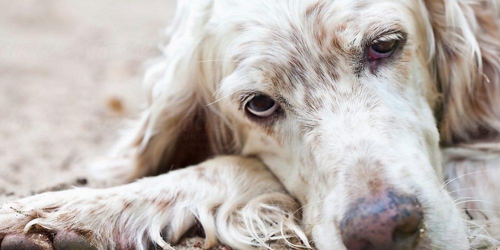 Foto de un perro viejo tumbado en el suelo y con pocas ganas de moverse