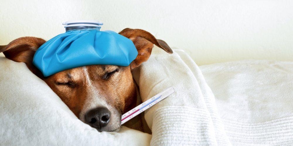 Foto de que simula un perro enfermo en la cama con un termómetro en la boca