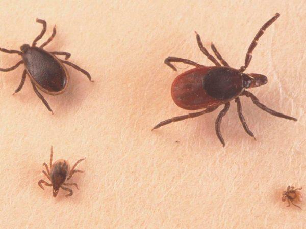 Foto con los cuatro tipos más comunes de parásitos que nos podemos encontrar en la piel de los perros