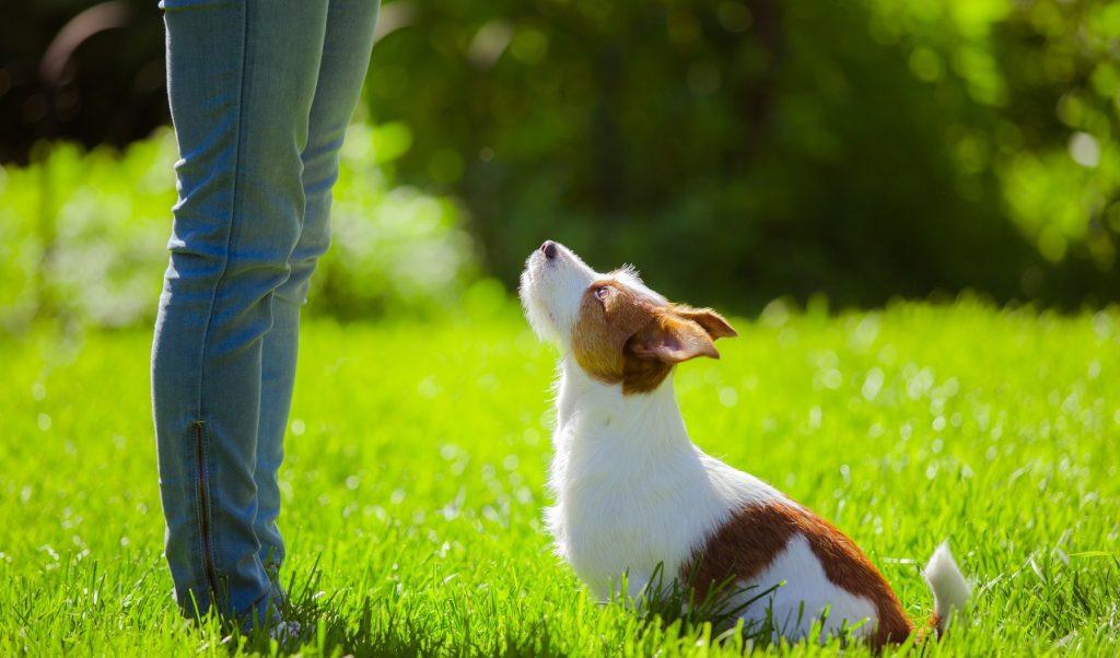 Perro sentado en la hierba despues de oir la orden de su dueña para que se siente