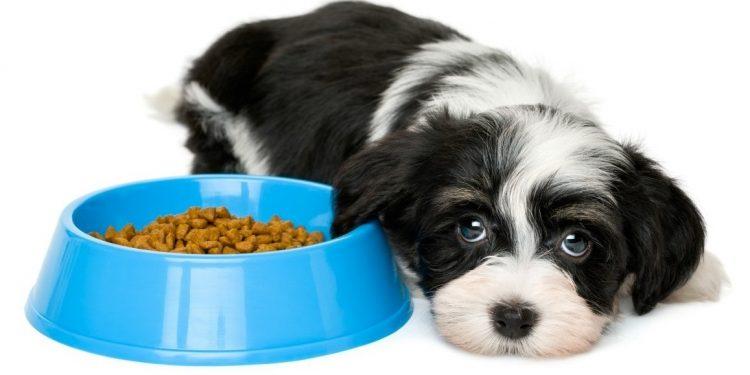 Perro triste tirado junto a su comida y sin ganas de comer