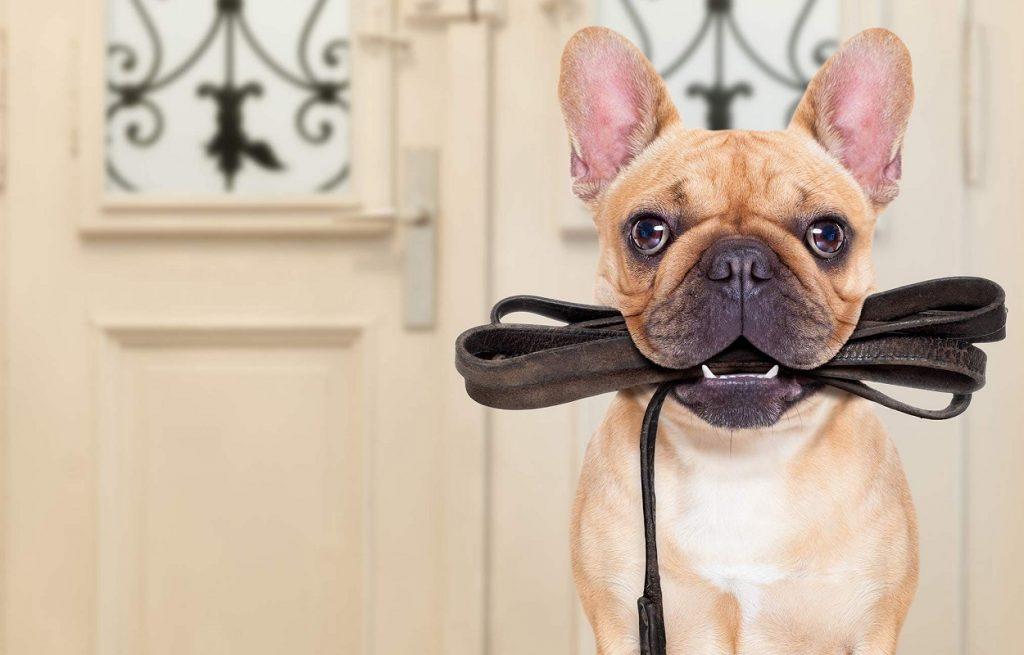 Foto de un perro con la correa en la boca mientras está dentro de casa. Este es un gran truco para empezar a pasear a un cachorro