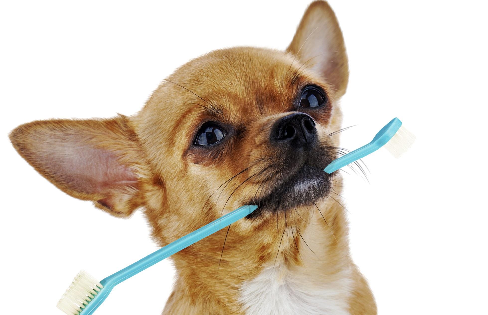 Perro pequeño con un cepilllo de dientes en la boca