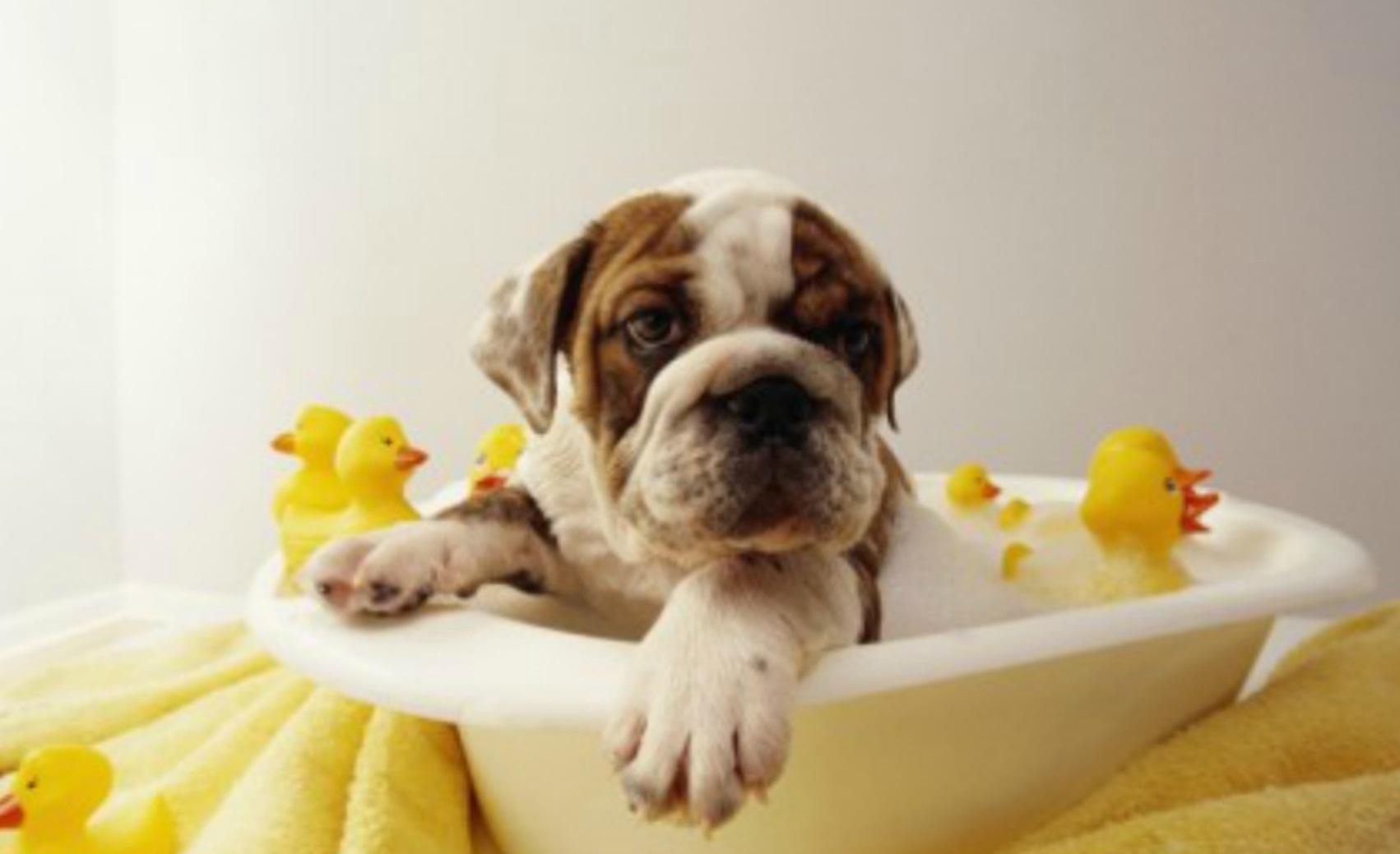 Cachorro en una bañera pequena con juguetes y patitos de goma amarillos