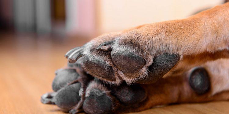 Foto las almohadillas de un perro