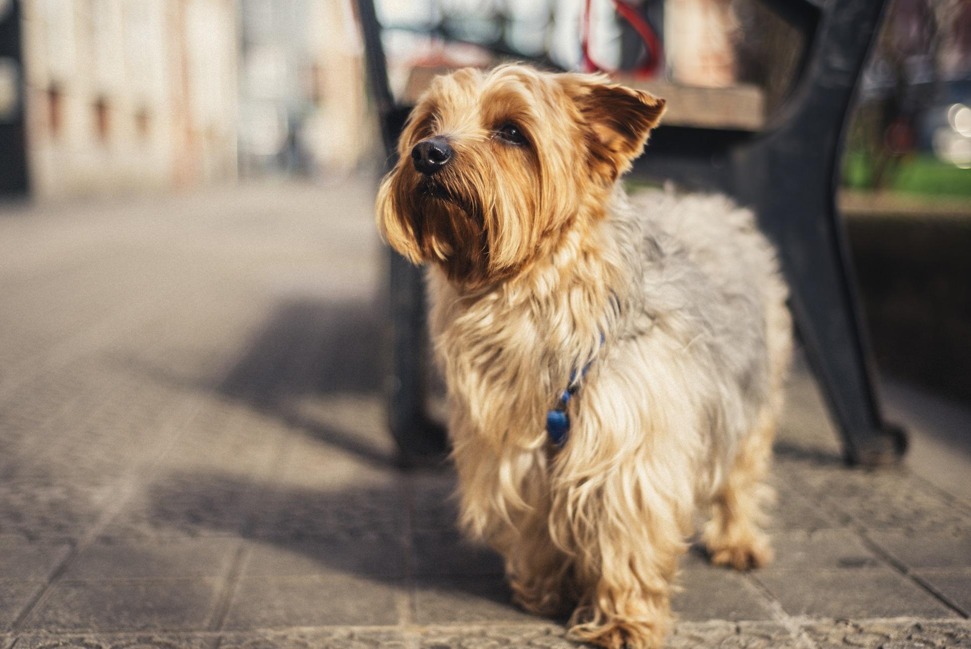 Foto de un Yorkshire Terrier en la calle mirando hacia arriba