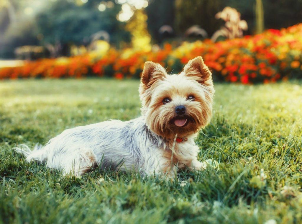 Yorkshire Terrier de tamaño mini, una tendencia que ha hecho que estos perros tengan en algunos casos pesos de menos de 1 Kg