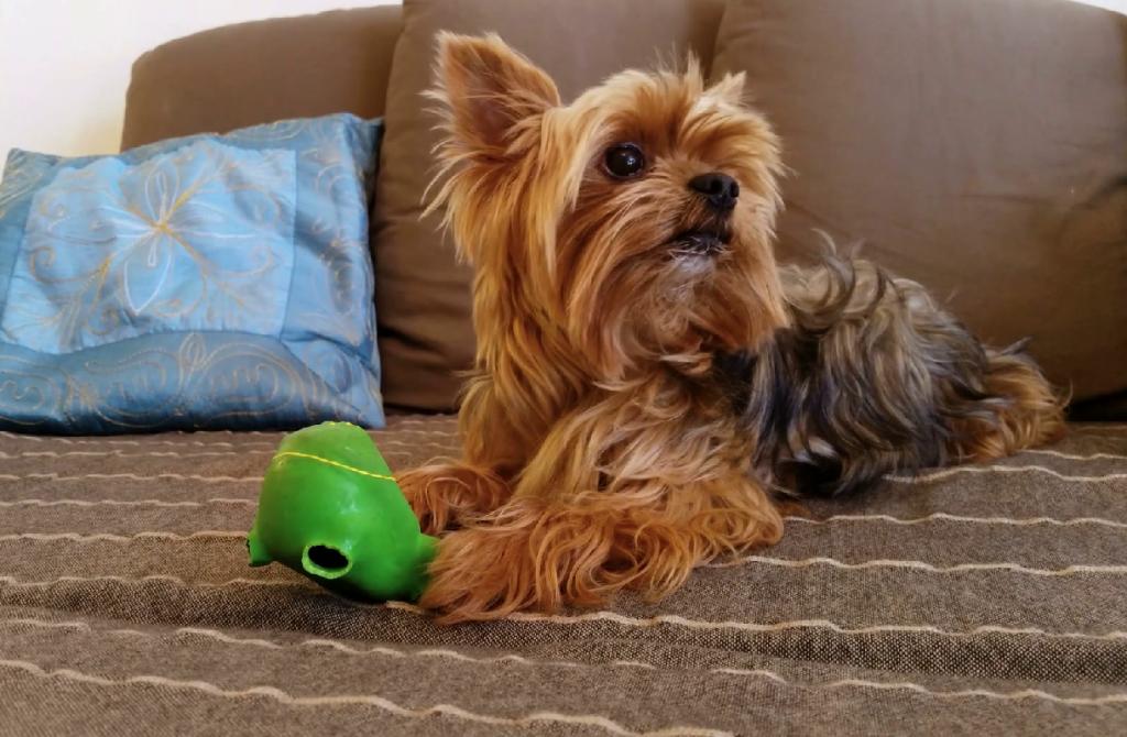 Foto de un Yorkshire Terrier en el sofá y con un juguetes verde con el que juega y lo muerde