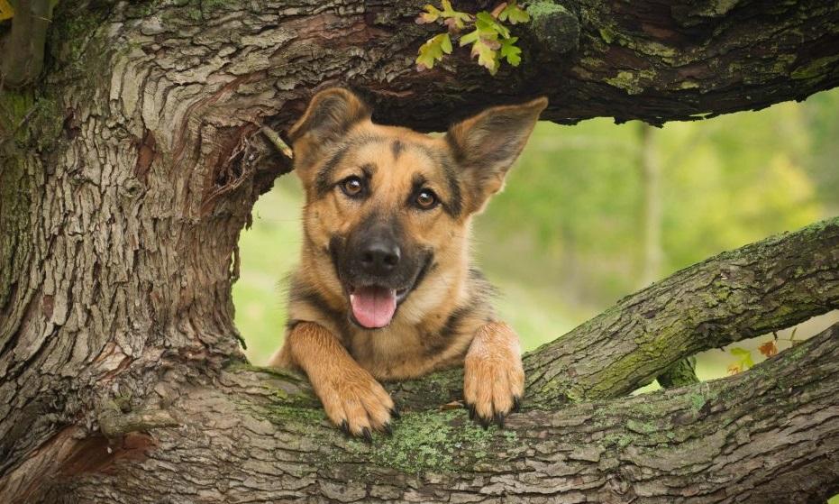 Foto de un cachorro de Pastor Alemán asomando entre las ramas de un arbol